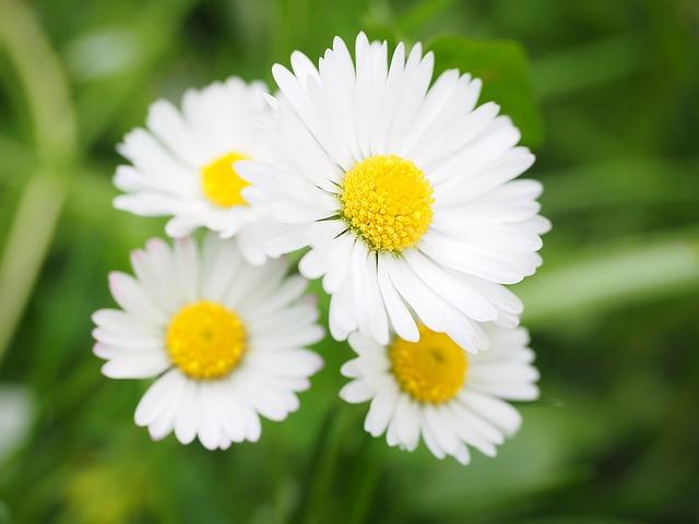 daisy-1260739_640